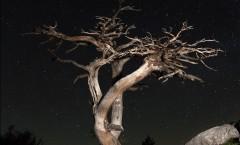 ode al pino loricato